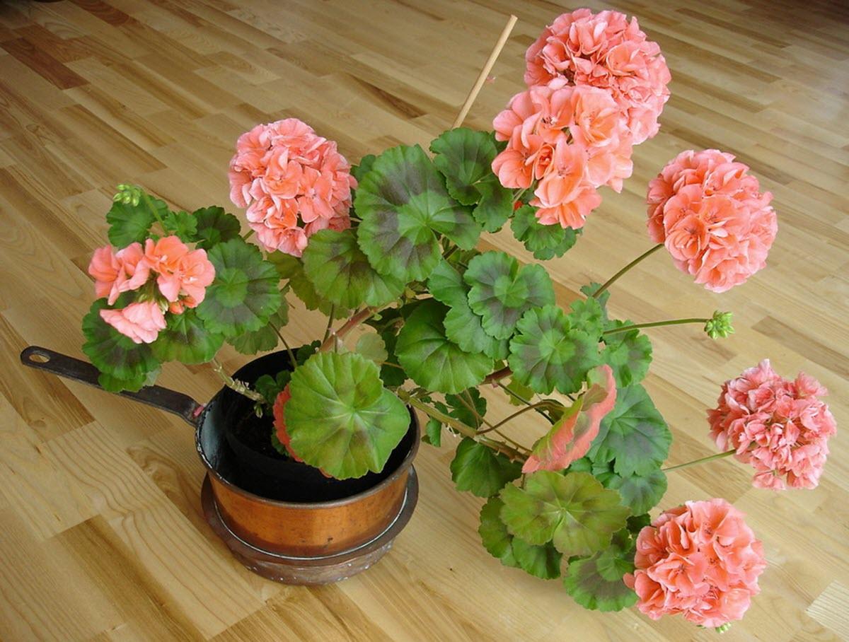 pelargon planta