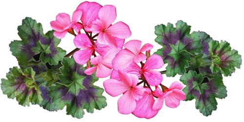rosa pelargon