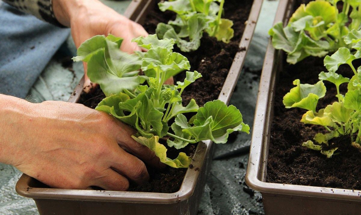 plantera om pelargoner